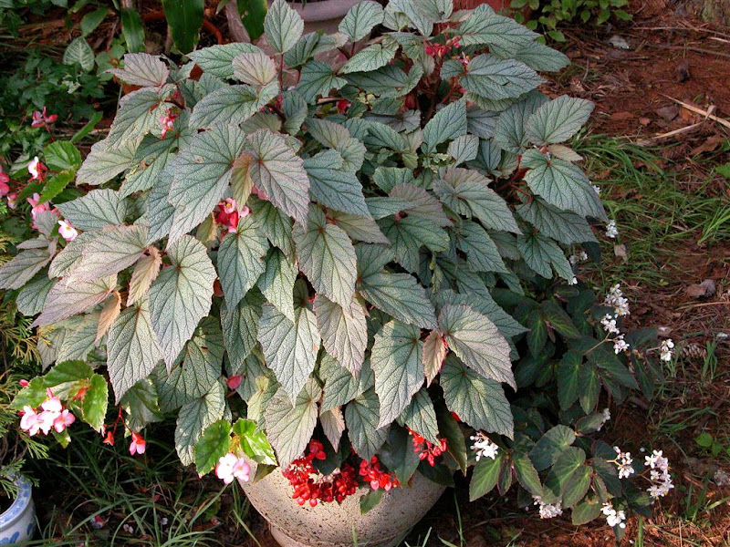 how to keep begonia tubers over winter