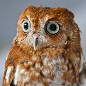 Screech owl portrait by Sandy Scott - Animals Birds ( birds of prey, owl portrait, screech owl, florida birds, owl, screech owl portrait, birds, raptors,  )