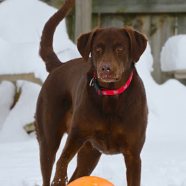 Playing in snow by Ann Bjerring Ravn Weis - Animals - Dogs Playing
