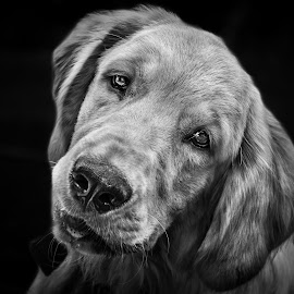 A soft look by Shivaang Sharma - Black & White Animals ( retriever, dog, golden, portrait, animal )