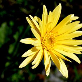 Yellow by Vijayendra Venkatesh - Flowers Single Flower