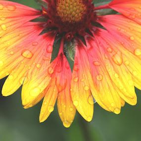 Spring Rain by Ioana Laura - Flowers Flower Gardens
