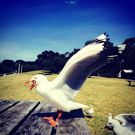 Seagull with food ready to fly photographed at Barwon Heads by Mic Larkins - Instagram & Mobile Instagram ( seagull, barwonheads, birds, food )