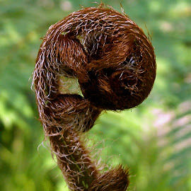 Baby Fern by Robin Morgan - Nature Up Close Other plants ( fern, plants, frond )