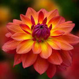 Golden dahia by Carl Sieswono Purwanto - Flowers Single Flower