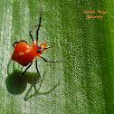 Orange Pearl Spider (Male)