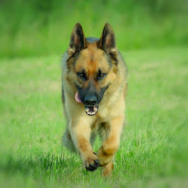 Here I come! by Sue Delia - Animals - Dogs Running ( germen shepherd, dog, pursuit, running,  )