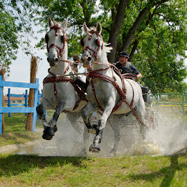 carriage driving derby  by Ioan-Dan Petringel - Sports & Fitness Other Sports ( carriage, horse, driving, sport, power )