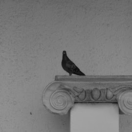 Ancient Ruin by Al Robert - Novices Only Wildlife ( bird, marble, monochrome, ancient, greece, thoughtful )