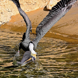 Mine! by Zeralda La Grange - Animals Birds ( #bird, #nature, #animal, #water, #pelican,  )