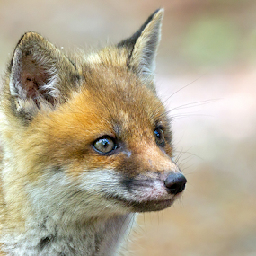 Wild Fox by Herb Houghton - Animals Other Mammals
