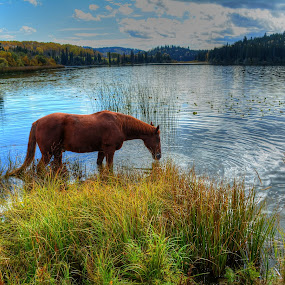 Paradise Lake (and Horse) by Skye Ryan-Evans - Animals Horses ( equine photography, horse photo, horse and water, animal-lovers, horse-lovers, waterscape, scenic photography, stallion drinking hrose, horse, sorrel horse, horse and lake, animal )