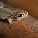 Chevron-throated Dwarf Gecko
