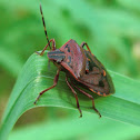 Glossy Shield Bug