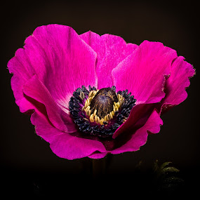 Anemone by Hans-Börje Jansson - Flowers Single Flower ( plant, macro, anemone, close-up, flower )