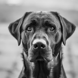 Focused by Rach Watson - Animals - Dogs Portraits ( sony, blackandwhite, focus, dog, portrait, sony a7 )