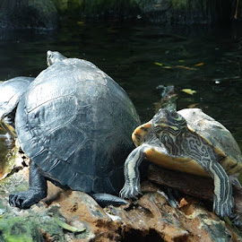 Tri-Turtle by Danette Neely - Animals Reptiles ( water, reptiles, animals, wildlife, turtle )
