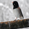 Dark-eyed (Oregon) Junco