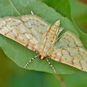 Ironweed root moth