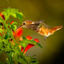 Allen's Hummingbird 2158 by Ken Wade - Animals Birds ( allen's hummingbird, selasphorus sasin )