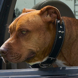 On Duty by Barbara Brock - Animals - Dogs Portraits ( pit bull looking out of vehicle, pit bull dog, pet, pit bull face, pit bull head, dog )