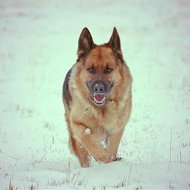 Slow trot home by Sue Delia - Animals - Dogs Running ( grman shepherd, snow, fields,  )