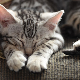 Sleepy little baby by Rob Ebersole - Animals - Cats Kittens ( kitten, www.wnybengals.com rob ebersole bengal kittens, maplewood bengals, bengal )