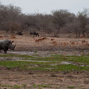 Rhino, Impala and Wildebeest