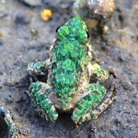 Frog by Saikat Ghosh - Animals Amphibians ( nature, colorful, frog, green, saikat )