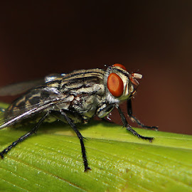 Red Eyes by David Knox-Whitehead - Animals Insects & Spiders ( macro, fly, insect, close up, eyes )