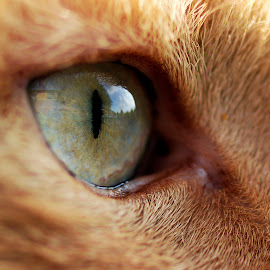 Cats Eye by Darrell Evans - Animals - Cats Portraits ( pupil, iris, fur, feline, eye )