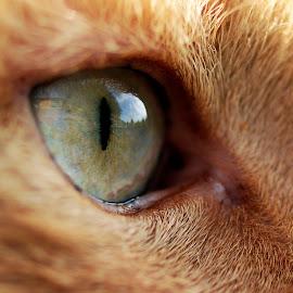 Cats Eye by Darrell Evans - Animals - Cats Portraits ( pupil, iris, fur, feline, eye )