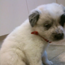 The newest member to join the power family. Meet miss Pebbles by Robyn Power - Animals - Dogs Puppies (  )