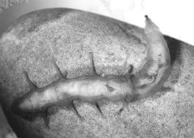 Larval Oreoleptis torrenticola