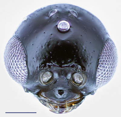 anterior head view of a Lagynodes male