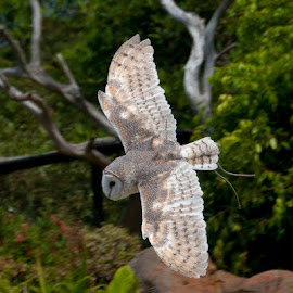 by Helen Fung - Animals Other ( flight, flying, fly, owl, sydney,  )
