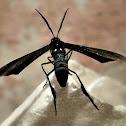 Cyan Wasp Moth