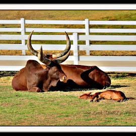 Baby sitting by Tom Lynch - Animals Other ( nature, cow, farm animal, large, mammal )