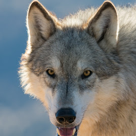 Timber Wolf by Joe Neely - Animals Other Mammals ( wolf eyes, wolf, timber wolf, grey, wolves, gray )