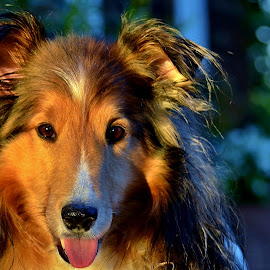 Barker and Bokeh by Tim Hall - Animals - Dogs Portraits ( tongue, sunset, twilight, shetland sheepdog, dog expression, dog smiling, sunlit, sheltie, closeup )