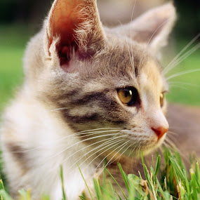 cute cat by Dinesh Kumar - Animals - Cats Kittens ( animals, cat, close shot, cute, , #GARYFONGPETS, #SHOWUSYOURPETS )