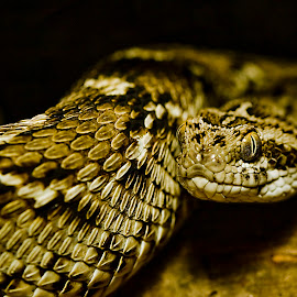 Saw Scale Viper by Rod Schrader - Animals Reptiles
