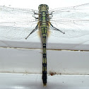 Green Skimmer Dragonfly