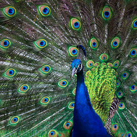 Peacock by Cathy Wagner - Animals Birds ( peacock tail, peacock feathers, bird mating display, electric blue, peacock )