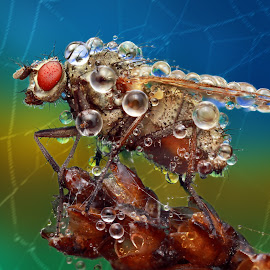 The dangerous life by Ondrej Pakan - Animals Insects & Spiders ( macro, fly, dew, spider, dew drops, net, insect )