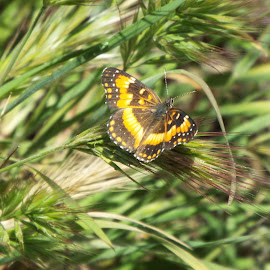 Little butterfly would only land for about 3 seconds by Donna Probasco - Novices Only Wildlife (  )