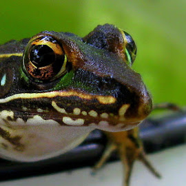 Froggy by Dianne Stephens-Miller - Animals Amphibians