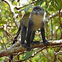 Zanzibar Sykes' monkey