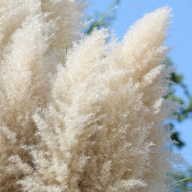 Pampas Grass by Betsy Sharp - Nature Up Close Leaves & Grasses