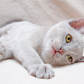 Lovable by Mia Ikonen - Animals - Cats Kittens ( resting, finland, lovely, adorable, burmese )